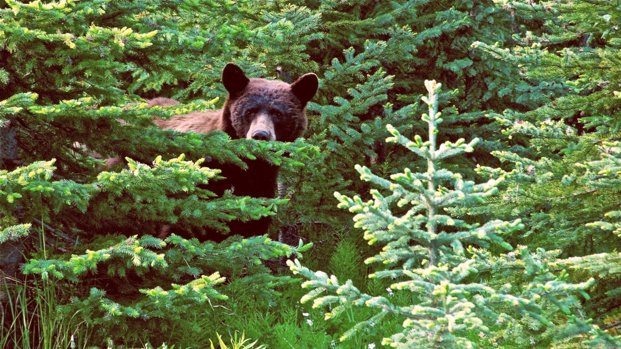Brown bear in the woods 2048x1152 wallpaper